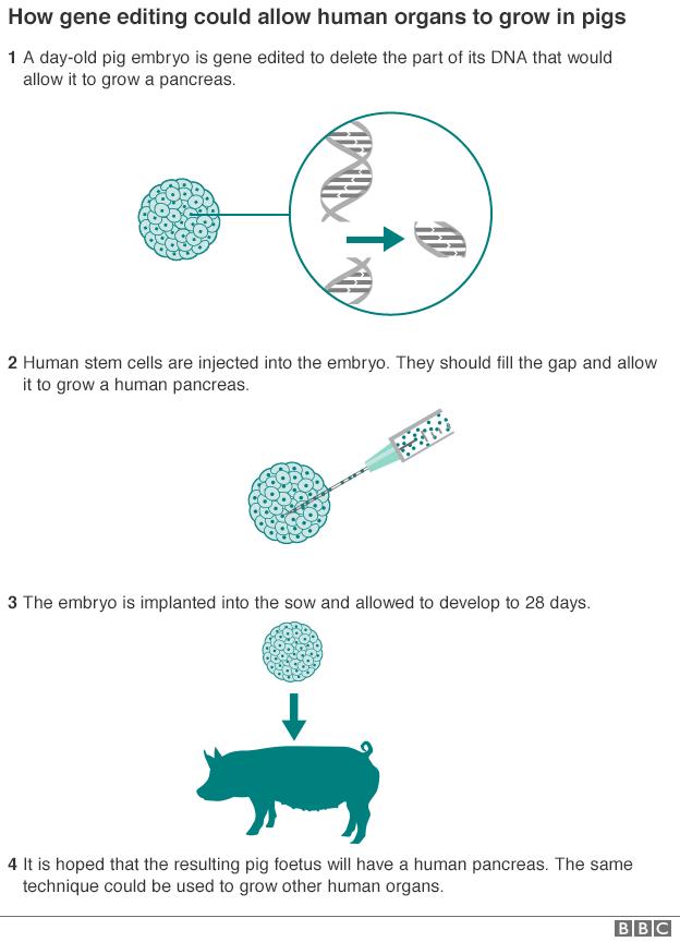 _89891412_pig_gene_editing_624-2