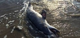 Dolphin Deaths in Gulf Of Mexico Caused By Injuries from Petroleum Exposure