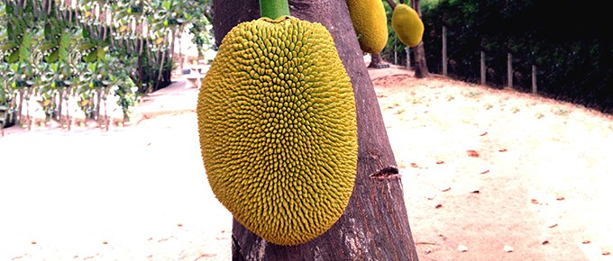Jackfruit-tree-680