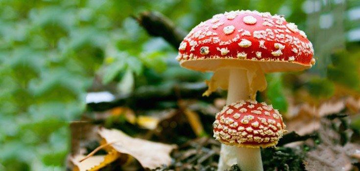 Mushrooms_Poisonous_mushrooms_Amanita_735-350-2