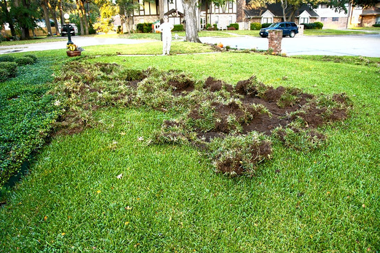 Lawn damage inflicted by an armadillo