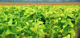 90% Of All Tobacco Is Full of Pesticides, Herbicides, and GMOs