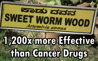 sweet wormwood