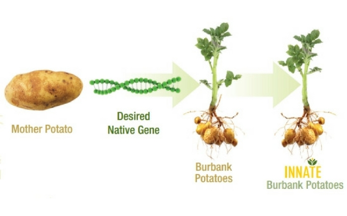 USDA Approves 2 New Types Of GMO Potatoes