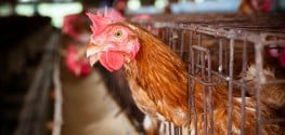 California 1st State to Pass Bill Banning Indiscriminate Antibiotic Use in Livestock