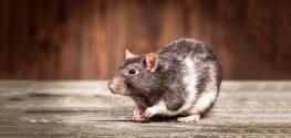 Rat Breeders Stricken With Rare Rat Virus