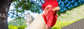 Chickens and Bugs Replace Pesticides, Herbicides for Some Farmers