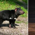 Tasmanian devil milk, superbugs