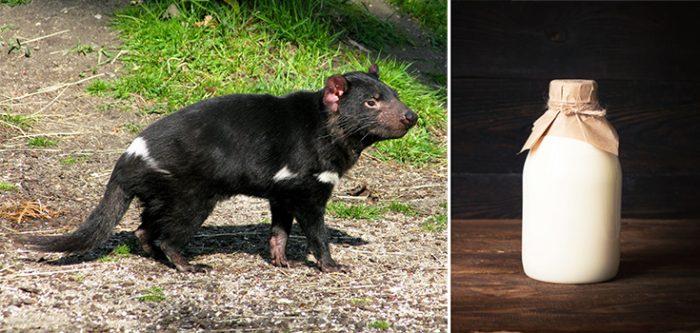 Tasmanian devil milk, superbugs