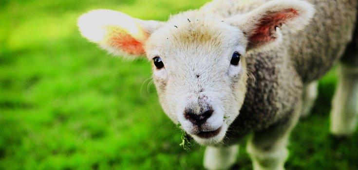 animal_lamb_735-350-2
