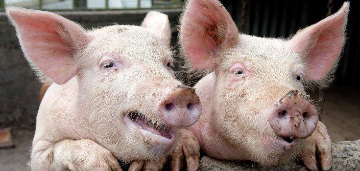 animal_pigs_735_350