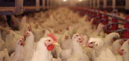 Whistleblower Reveals Why US Chickens Are Washed Down With Chlorine
