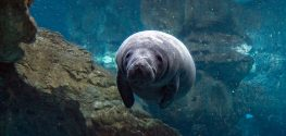 Great News: Record Numbers of Manatees Spotted in Florida