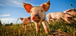 GMO Bacon? 'Genetically Modified' Pigs on the Horizon