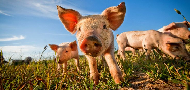animals-pigs-735-350-2