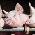 animals-pigs-pen-tyson-735-250