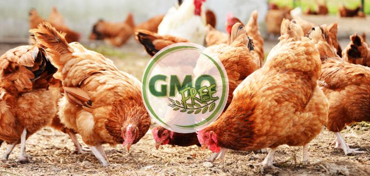 animals_chicken_gmo_free