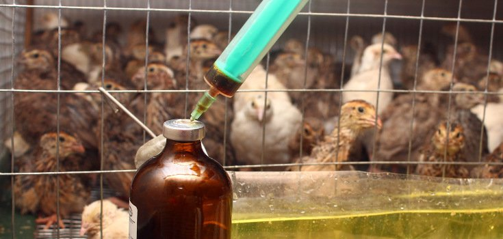 animals_chickens_antibiotics_735_350