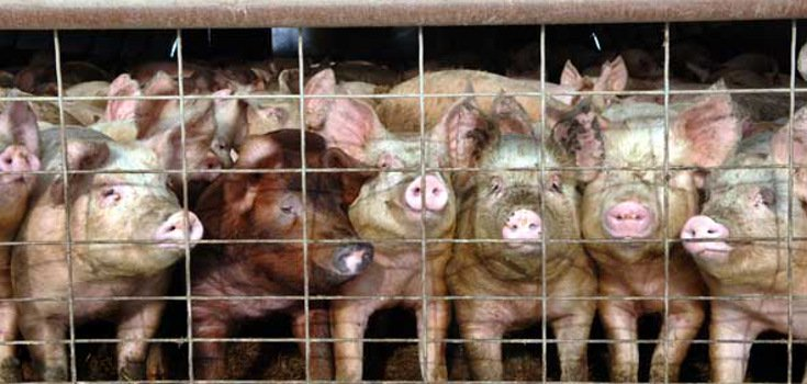 animals_pigs_caged_735_350