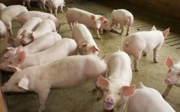 Undercover Video Gives the Dirt on Pigs in Factory Farms