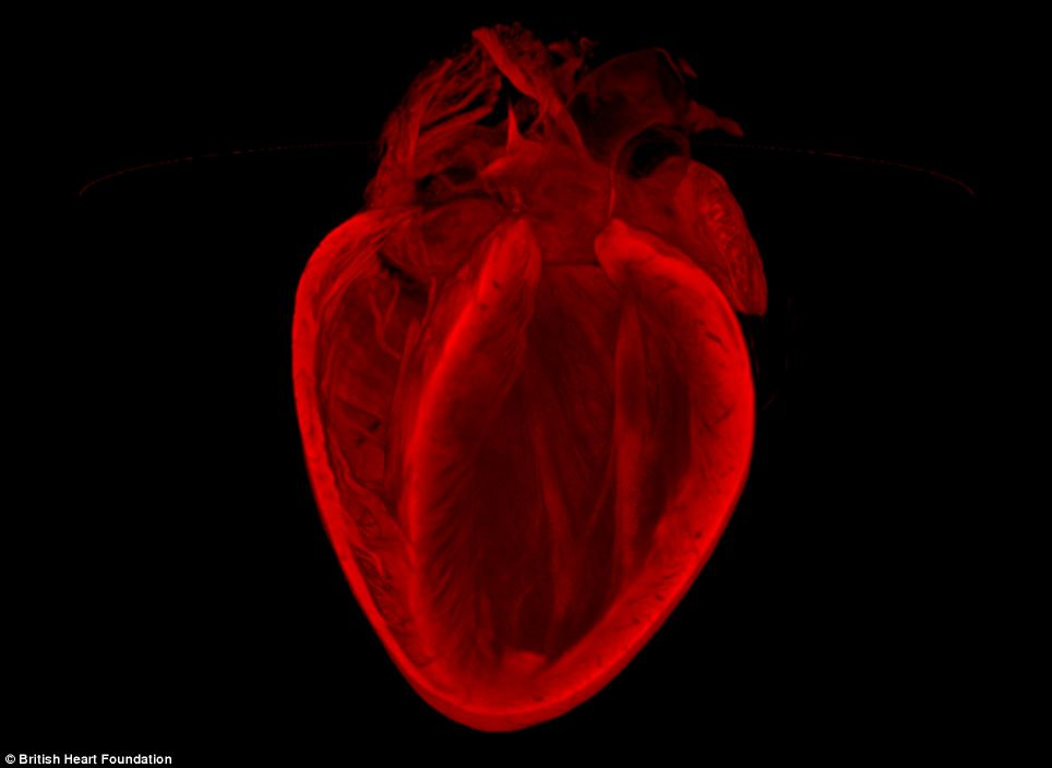 Image winner: 3D structure of an adult mouse heart.