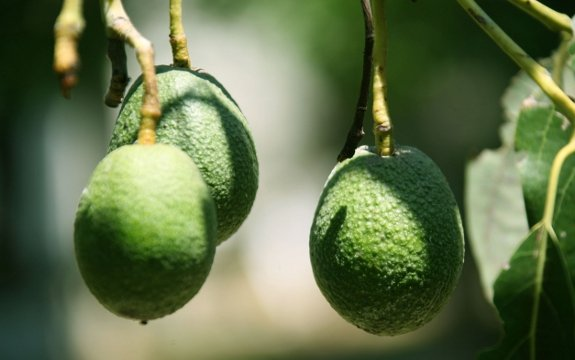 Avocado The Prolific Green Fruit Vegetable And Nut Combined