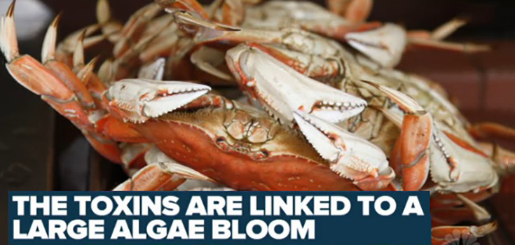 california-toxic-algae-crabs-735-350