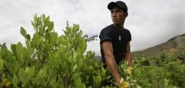 coca crops plantation