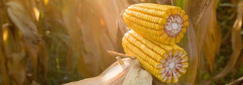PhD Says Monsanto Has Been Lying About Safety of Cry Proteins in GM Bt Crops