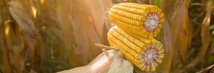 corn-crop-735-252