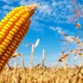 corn-crop-yellow-735-350