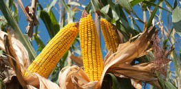 Report: Monsanto's Latest GM Maize Doesn't Reduce Pests or Increase Yields