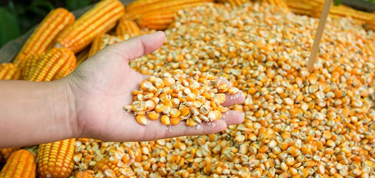 corn-kernels-seeds-735-350