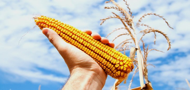 corn_crop_gmo_735_350-level