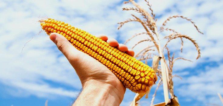 corn_crop_gmo_735_350-level