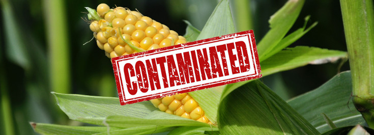 corn_fields_crop_735_265_contaminated