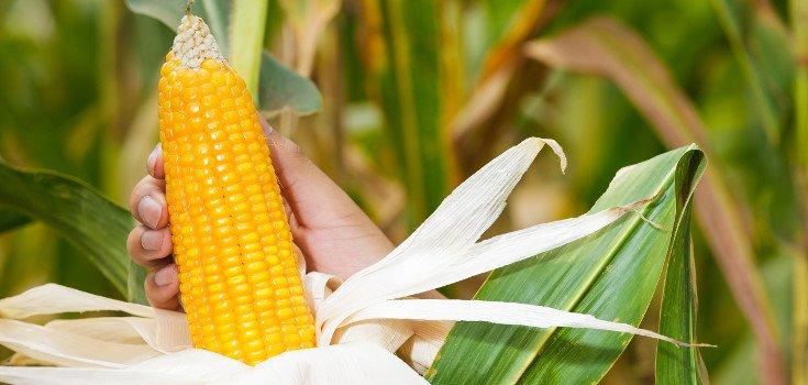 corn_grow_735_350