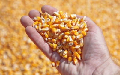 corn in hand