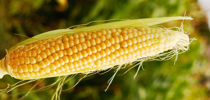 corn_stalk_crop_735_350