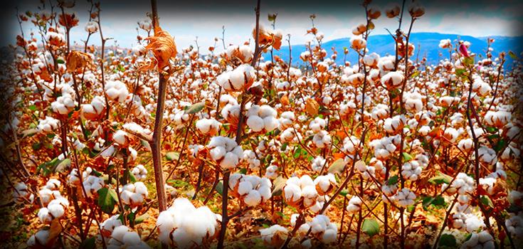cotton-field-shadow-full-2-735-350