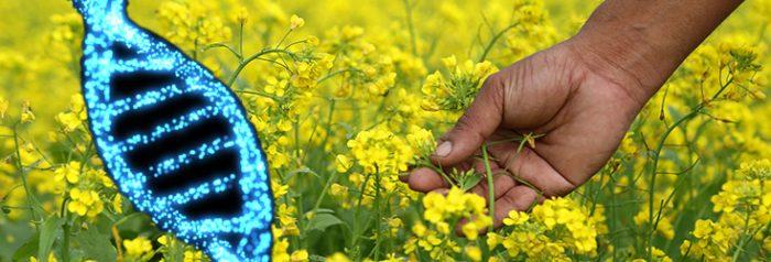 genetically modified mustard