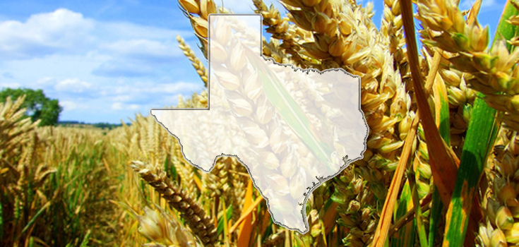 crop_wheat_fields_texas_735_350