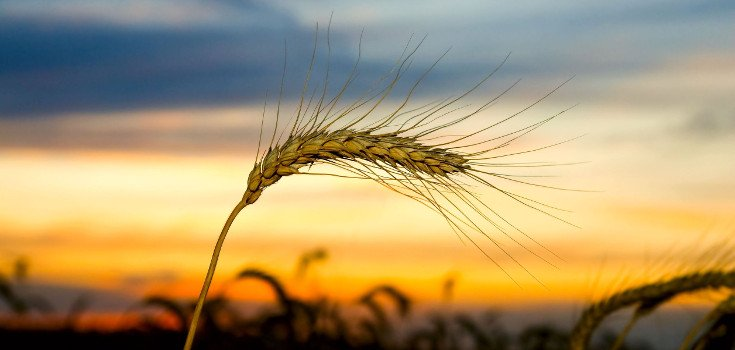 crop_wheat_wind_735_350