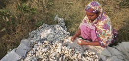 Farmers in India Reject GM Crops After Whitefly Attack Destroys Cotton Fields