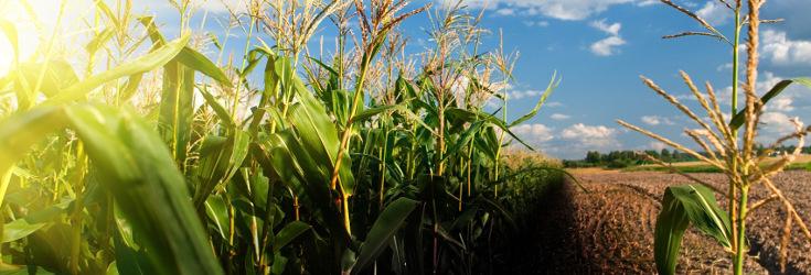 crops_corn_field_735_250