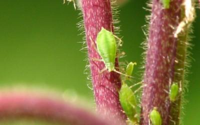 crop pests