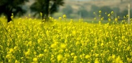 Genetically Modified Mustard? Biotech Makes more Questionable Claims