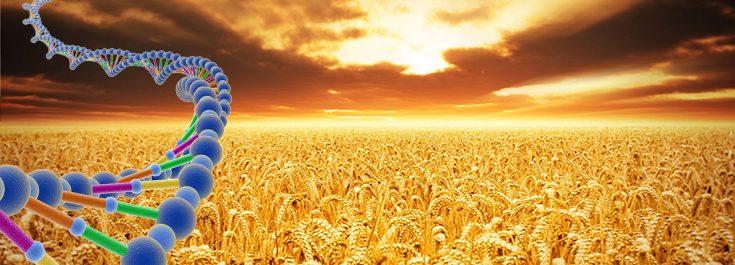 GMO wheat