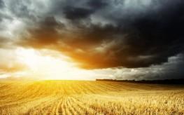 dark wheat field