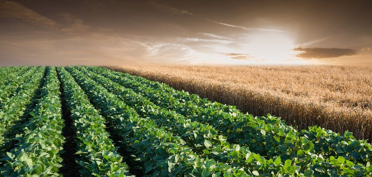 field_soy_wheat_735_350